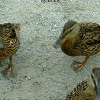 """Now I know why the sign said """"don't feed the ducks"""" I had to run for my"""