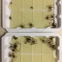 1 night of trapping spiders with glue