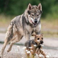 The Tamaskan is a dog breed that looks like a wolf but with zero wolf blood. It is a