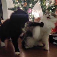Tried to take a nice photo of the cats for Christmas