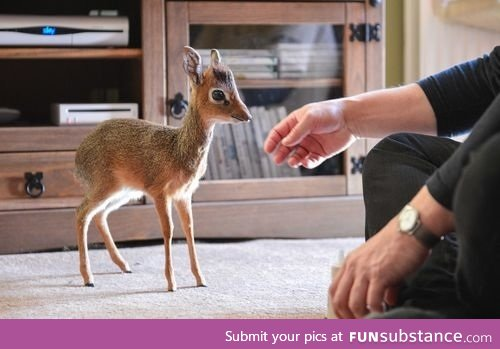 The Dik Dik Funsubstance