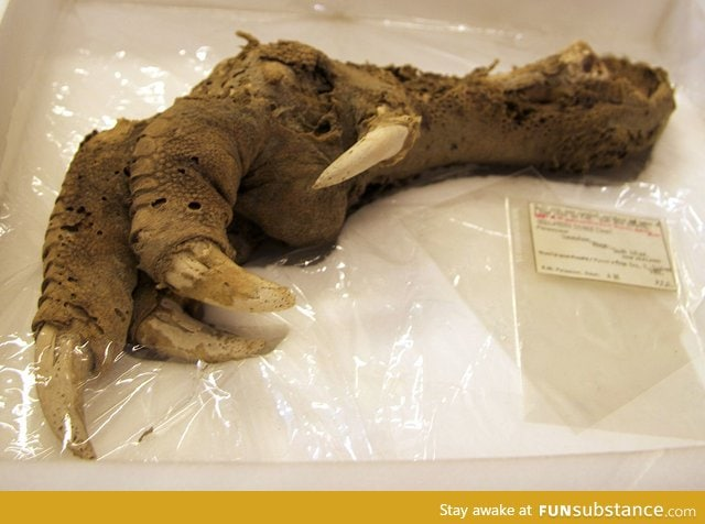 Preserved Megalapteryx foot
