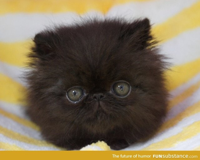 Baby picture of a Persian cat