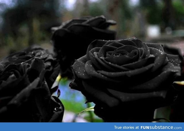 how to grow black roses