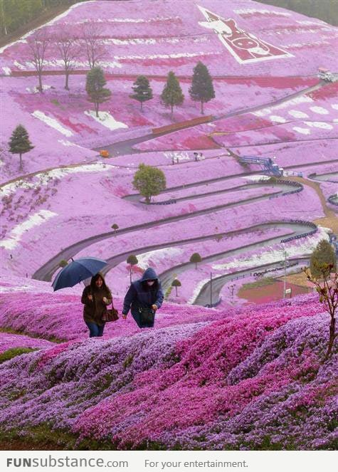 Awesome flower fields in Hillside, Hokkaido, Japan