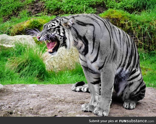 Extremely rare Maltese Tiger, also known as 'Blue Tiger'