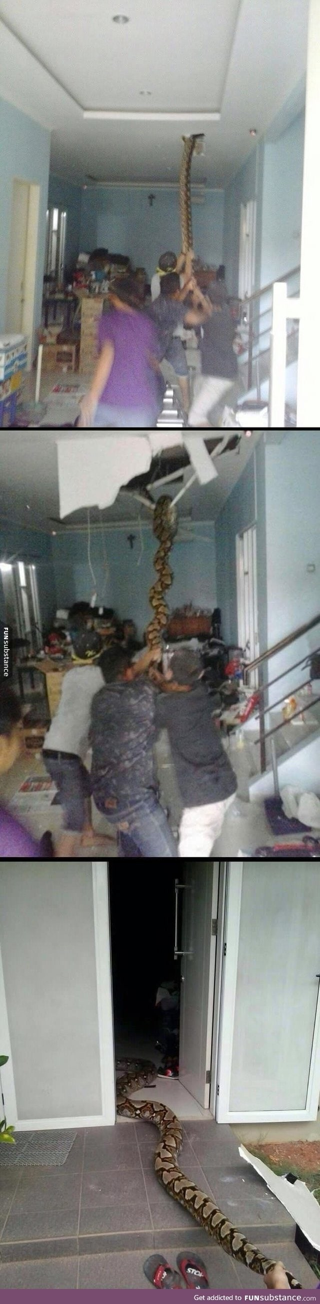 Snake pulled from the ceiling