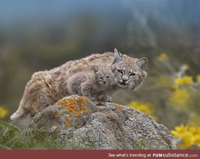 Beautiful Bobcat and baby