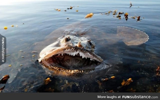 This is the Lophius fish, also known as fish-frog, monkfish and sea-devil