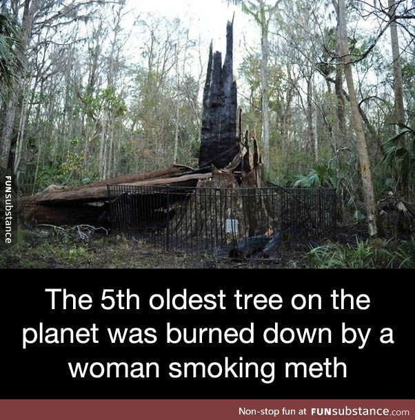 The 5th oldest tree