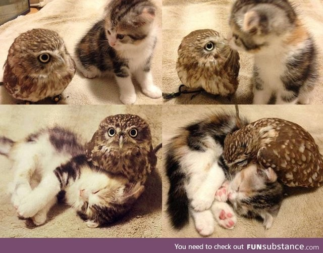 Little owl and baby kitten built an unlikely friendship in a Japanese coffee shop