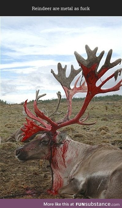 Reindeer shedding the velvet off of their antlers