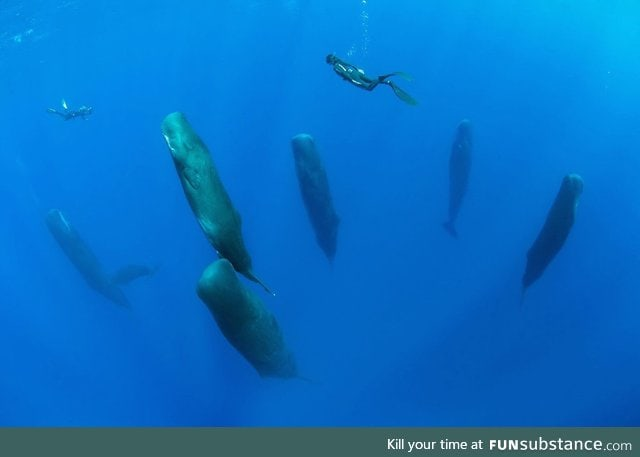 TIL: Pods of sperm whales take synchronized vertical naps 6-24 minutes in length
