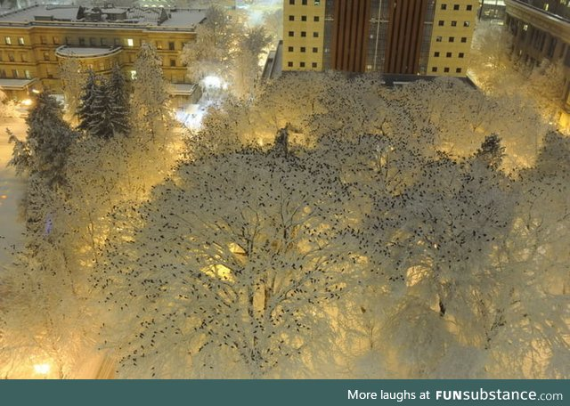 What hundreds of crows roosting in the snow at night looks like