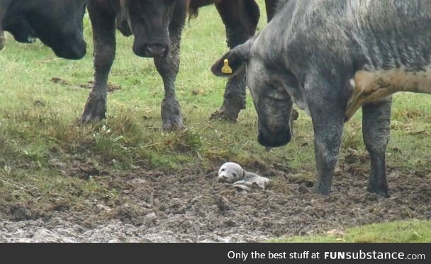A baby seal stuck in mud, surrounded by interested cows. The baby seal was rescued
