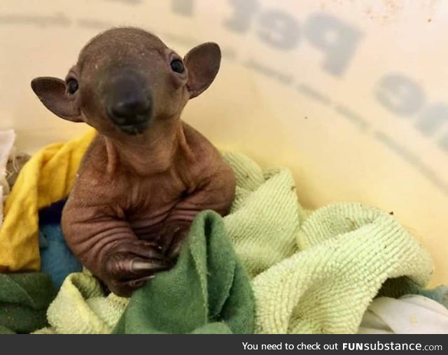 This baby tamandua is the definition of creepy cute.