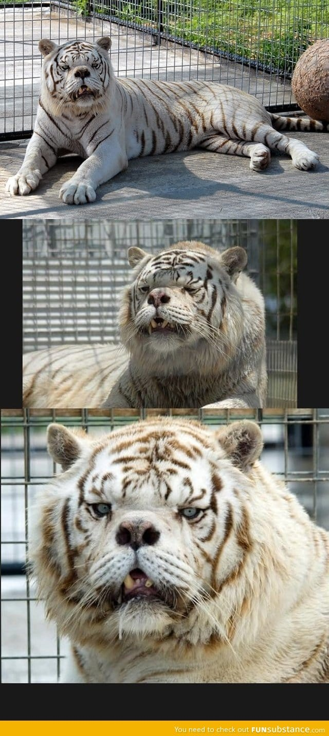 Kenny the tiger gif