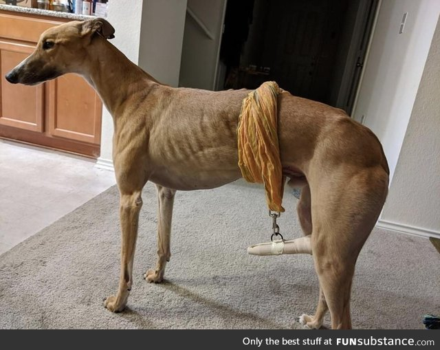A friend's dog had an accident to her tail so they came up with a unique sling to keep