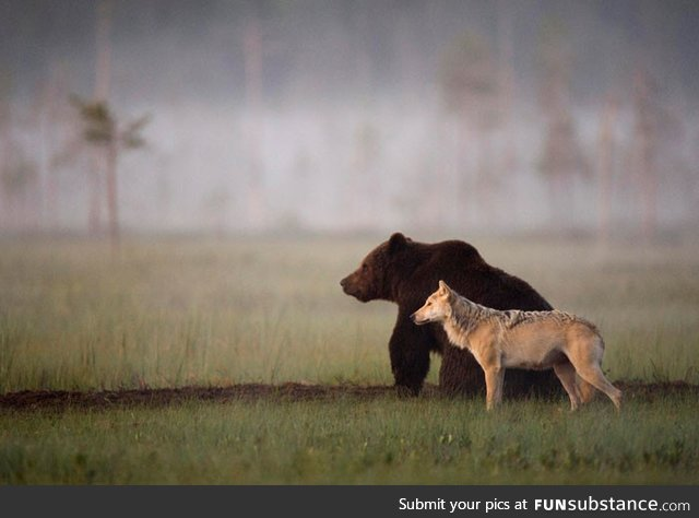 This wolf and bear pair were documented travelling, hunting and sharing food together for