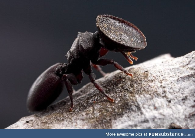 This living door ant has a bowl for a head, used to plug entrances to her nest. Florida