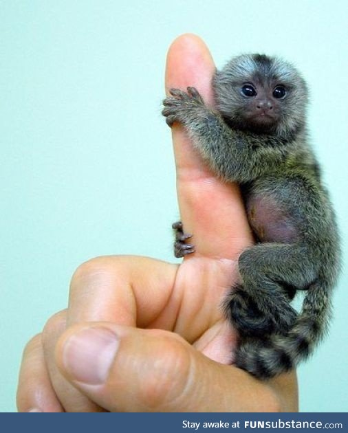 Pygmy Marmoset is the worlds smallest monkey
