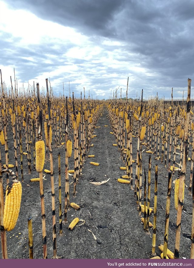 A fire burned the leaves and husks in this cornfield leaving the stalks and cobs largely