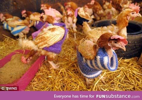 A Norfolk woman rescued battery chickens and knit a sweater for them ...All 1500