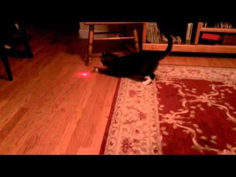 Cat With Laser Pointer On Head Has So Much Fun Chasing It