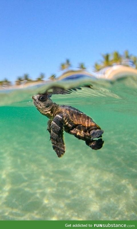 A baby turtle starting a new journey