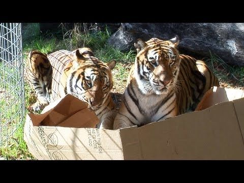 Big cats are still cats, and they like boxes too!
