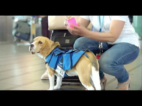 Dog Works at Airport Returning Passenger's Lost Items