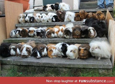 This looks like a senior class picture of guinea pigs