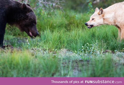 A bear and a wolf meet between the Finnish-Russian border. Photo by Thomas Mørch