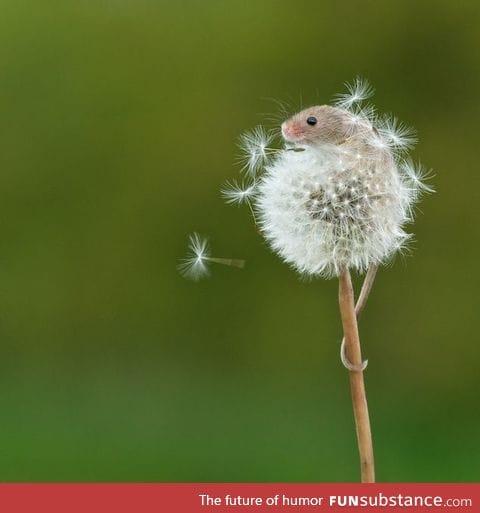 Tiny harvest mouse climbs a dandelion