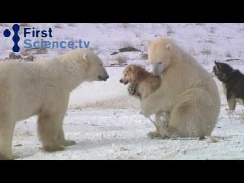 Polar bears and dogs play happily together