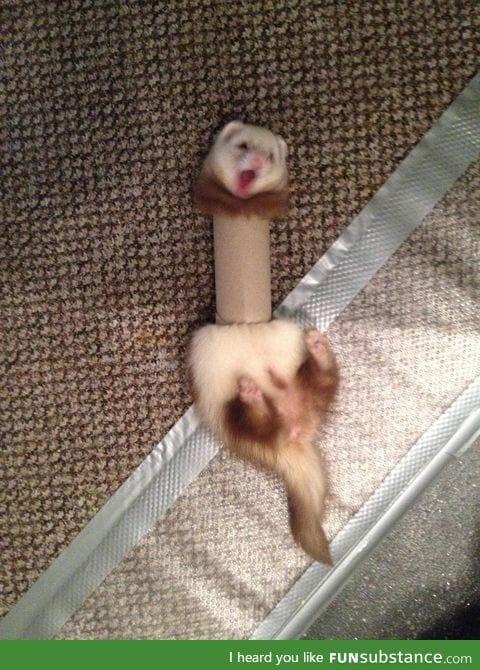 Ferret in a tube