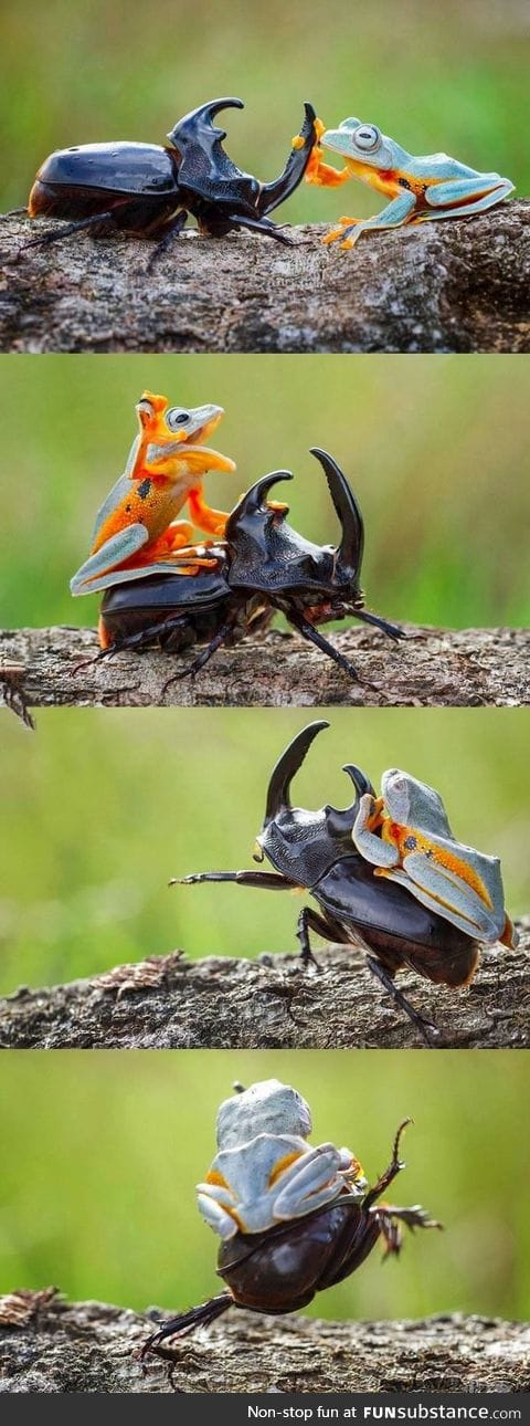 Little froggy rodeo