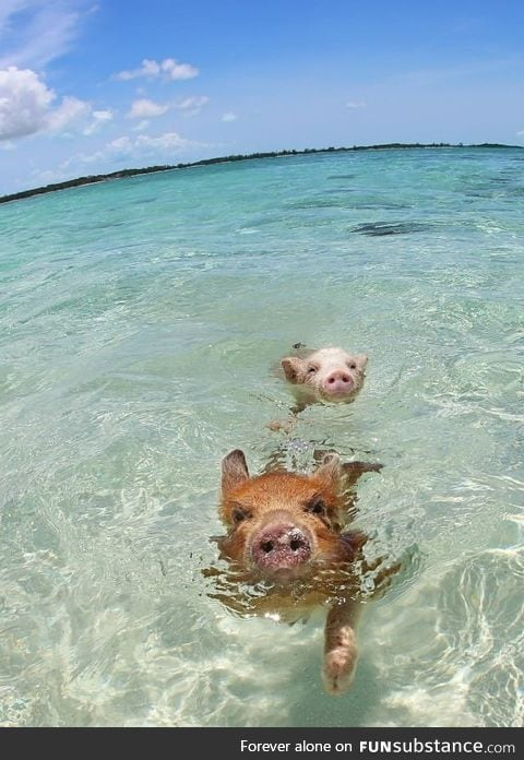 I lived in the Bahamas for a while. Did you know wild pigs swim there?