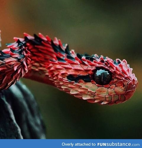 One of the most gorgeous snakes, hairy bush-viper