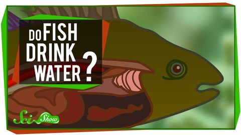 Do fish drink water?