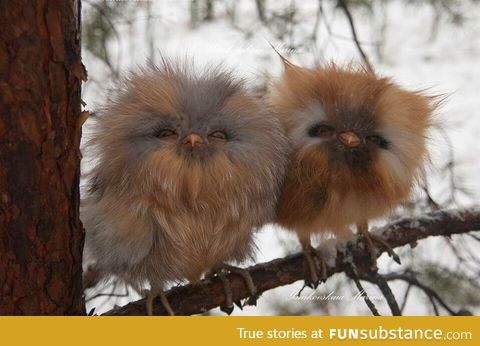 Ewoks in owl form