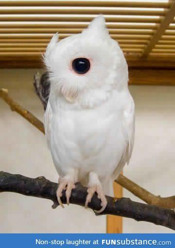 An albino owl.