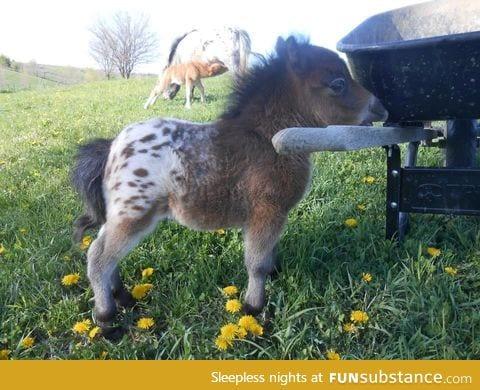 It's a baby, Appaloosa, mini horse