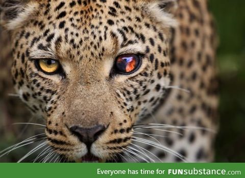 Leopard with a damaged eye