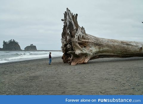 Giant Redwood on the beach