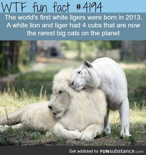 world's first white ligers
