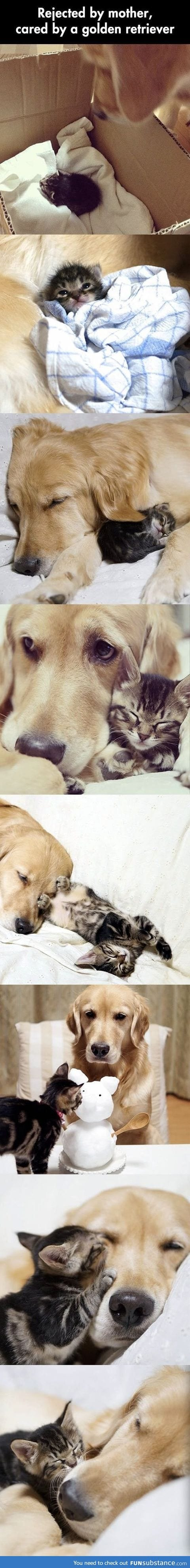 Golden retriever adopts a kitten abandoned by its mother