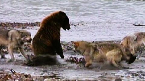 4 wolves allows bear to eat with them after it established dominance