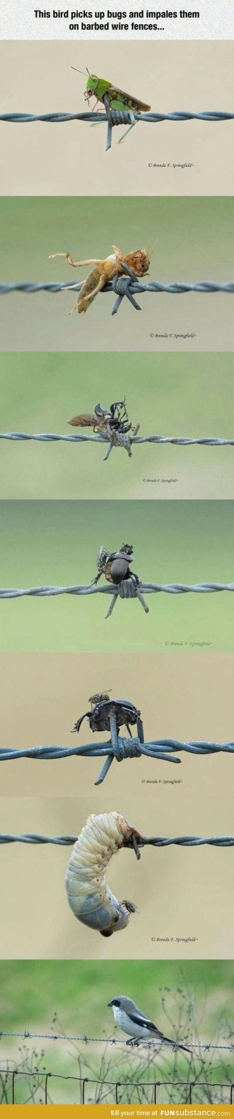 Bird impales its preys on a barb wire