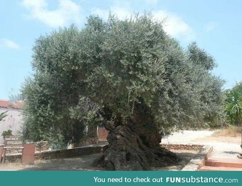 This tree is 3000 years old (Crete, Greece)
